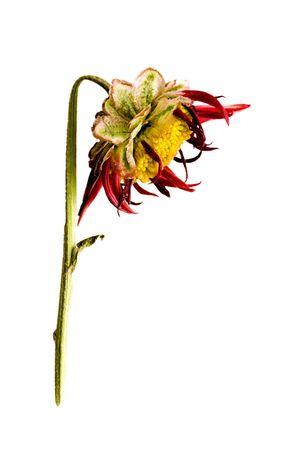side view of dead flower head 스톡 콘텐츠