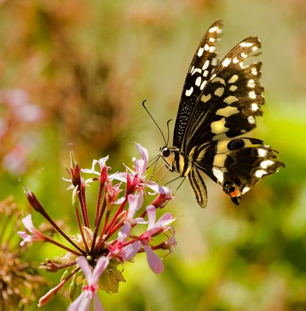 citrus swallowtail butterfly seen drinking nectar from pink flower with moving wings and probiscus visible Stock Photo