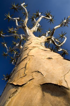 perspective shot of quiver tree showing detail of trunk against deep blue clear sky