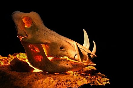 warthog skull lit by candles from inside against black background on a rock