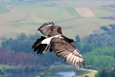 black eagle in flight with green valley as backdrop