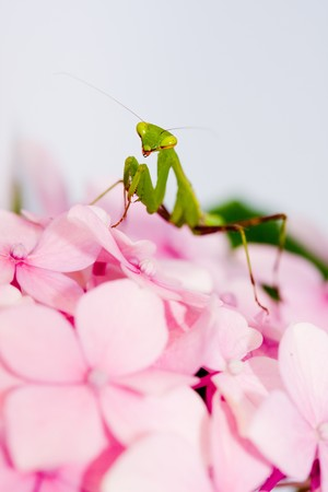 green praying mantis on pink flower against white background