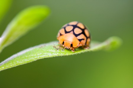 orange and black ladybird on green leaf frontal view