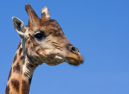 the scars: head shot of old bull giraffe against clear blue sky