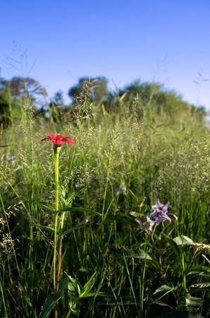 perspective shot of red wildflower against green meadow and blue sky Stock Photo - 4386758