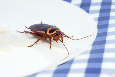 unhygienic: sideview macro of cockroach feeding on rice Stock Photo