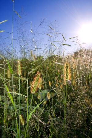 wild grass backlit with golden sunlight,insect perched on one seed pod,background blurry,visible clear blue sky and sun Stock Photo - 4485834