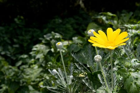 single yellow daisy flower brightly lit by sunshine with the rest of the woodland in deep dark shadow Stock Photo - 4971216