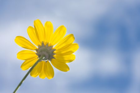 perspective shot of yellow daisy flower against blue sky with clouds in sunlight Stock Photo - 4971211