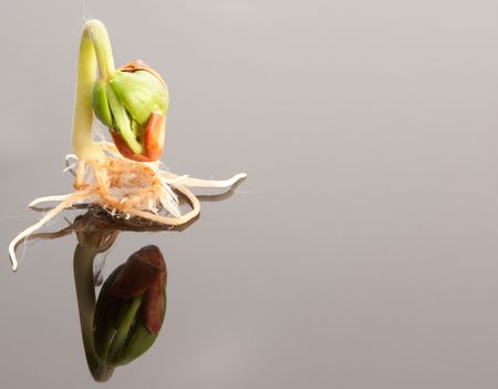 single growing bean plant seedling with reflection closeup detail Stock Photo - 7826240