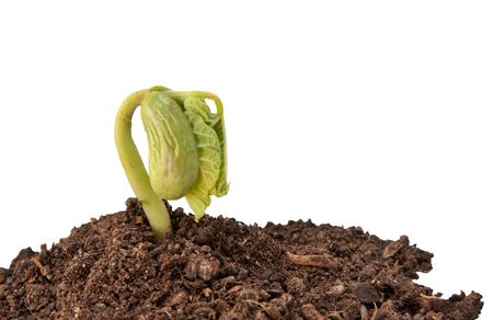 one single runner bean sprout growing in soil isolated on white background photo