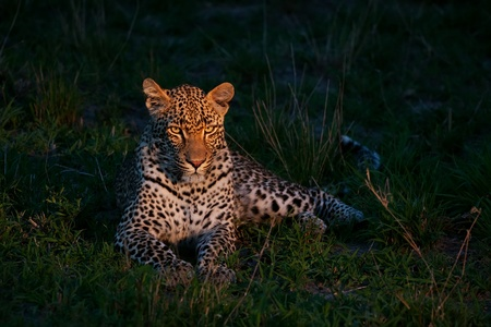 african leopard at dusk lying on green grass lighted with a spotlight in Sabi Sand nature reserve in South Africa Stock Photo