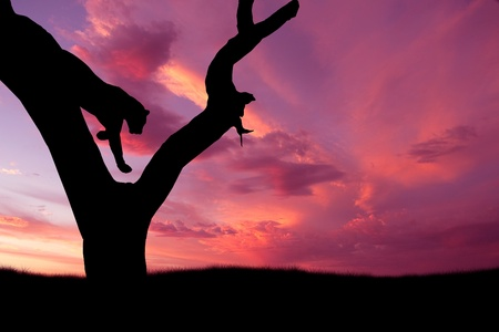 african leopard jumping down from tree against pink purple sunset sky photo