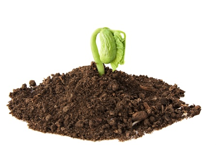 one single runner bean sprout growing in soil on white background