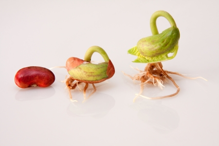 three bean sprouts showing stages of germination from seed to seedling on white background Reklamní fotografie