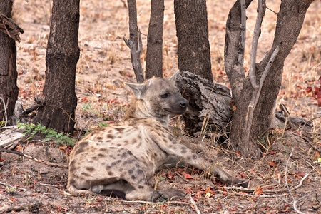 spotted: spotted hyena in Kruger National Park, South Africa