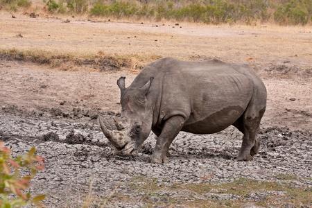 única rinoceronte blanco, disfrutando de un baño de barro en el Parque Nacional Kruger, Sudáfrica durante la estación seca Foto de archivo - 8946941