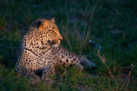 african leopard at dusk lying on green grass lighted with a spotlight in Sabi Sand nature reserve in South Africa Standard-Bild
