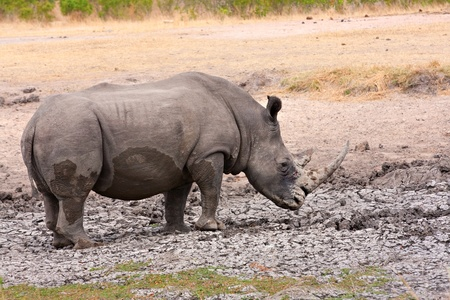 single white rhinoceros enjoying a mud bath in the Kruger National Park, South Africa during the dry season photo
