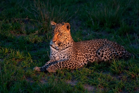african leopard at dusk lying on green grass lighted with a spotlight in Sabi Sand nature reserve in South Africa photo