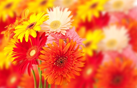 bunch of colorful gerbera daisies with out of focus flower background photo