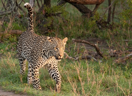 adult male leopard walking in grass in Sabi Sand nature reserve, South Africa Stock Photo