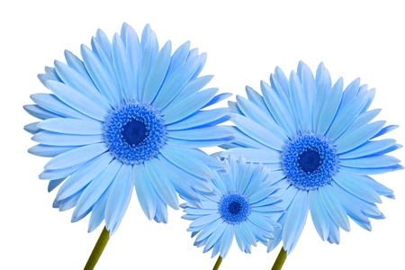 three abstract blue colored gerbera daisy flower isolated on white background Standard-Bild