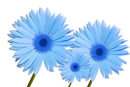 drie abstract blauw gekleurde gerbera daisy flower geïsoleerd op witte achtergrond