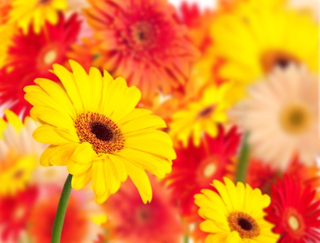 yellow gerbera daisy with out of focus flower background photo