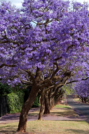 jacaranda trees lining the street in Pretoria, South Africa, purple bloom in October Stock Photo - 9040561