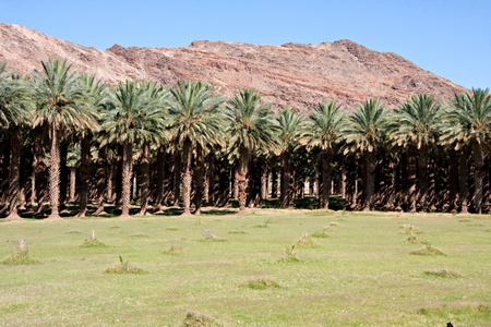 northern cape: agricultural date palm farm in dry semi-desert of Northern Cape in South Africa Stock Photo