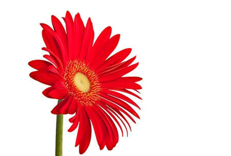 red single gerbera daisy flower isolated on white background Stock Photo