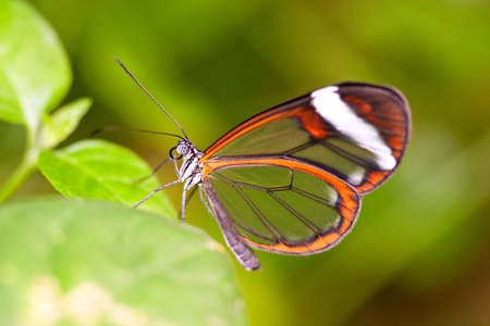 closeup of glasswing butterfly on green leaves Stock Photo