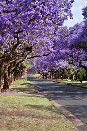 jacaranda trees lining the street in Pretoria, South Africa, purple bloom in October Stock Photo
