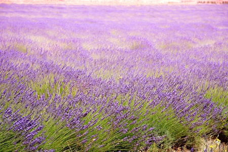 purple lavender fields in Paarl, South Africa