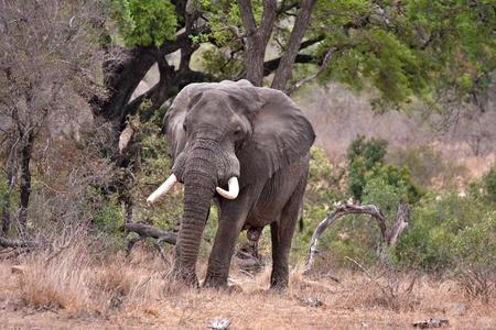 kruger national park: old african bull elephant in Kruger National Park, South Africa