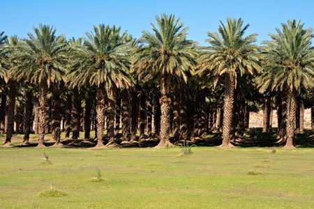 green dates: agricultural date palm farm in dry semi-desert of Northern Cape in South Africa Stock Photo