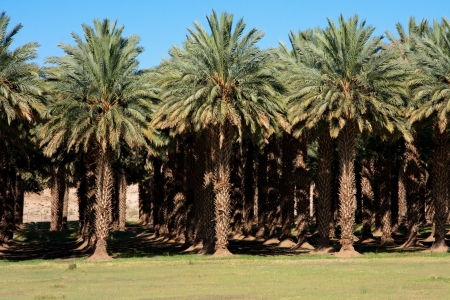 date palm tree: agricultural date palm farm in dry semi-desert of Northern Cape in South Africa Stock Photo