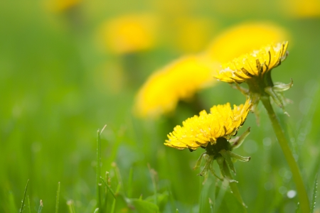 invade: yellow dandelion flowers invading a green lawn in Canada in spring