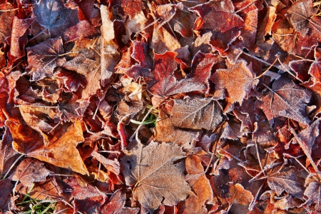 fallen fall maple leaves covered with frost, for texture or background Stock Photo