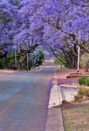 프리토리아, 남아프리카 공화국 10 월에 보라색 꽃의 거리를 안감 능소화 나무 스톡 콘텐츠