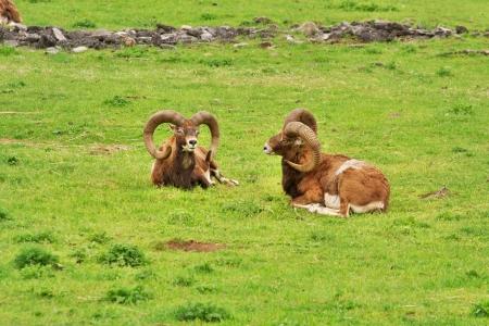 mouflon: dos muflones carneros en la hierba verde