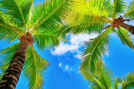 palm fruits: palm trees on blue sky and white clouds on Cozumel in Mexico, perspective looking up