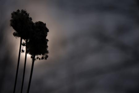 fluffy seed head silhouette against setting sun on gloomy dark winter day 版權商用圖片