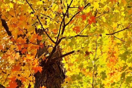 sun shining through bright  fall maple leaves, green, orange, yellow, red