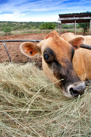 closeup of head of brown jersey dairy cow with hay on farm