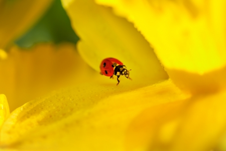 small red ladybird on yellow spring daffodil, hiding between the petals