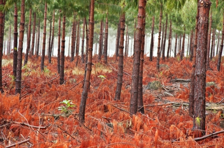 misty pine forest with ground covered in red coloured fallen branches and pine needles Standard-Bild