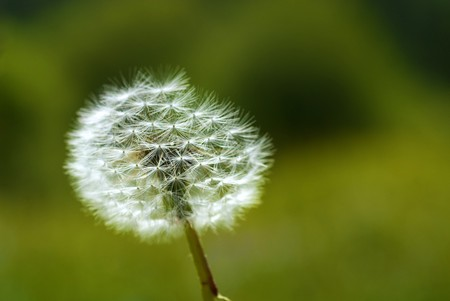 Dandelion in the mountains against the background of the grass Stock Photo - 4042189