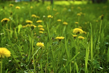 vividly: Green grass with the vividly yellow dandelions
